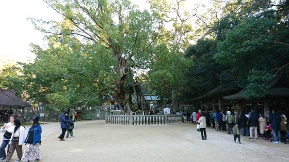 大山祇神社の楠